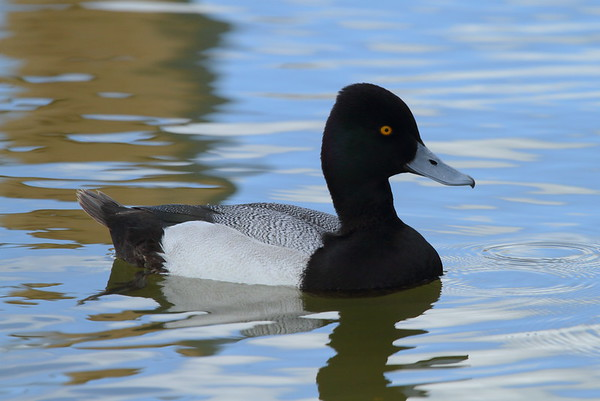 Lesser Scaup (male) Aythya affinis Lake Mirror, Lakeland, Florida 19 February 2018