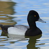 Lesser Scaup (male)<br> <i>Aythya affinis</i><br> Lake Mirror, Lakeland, Florida<br> 19 February 2018
