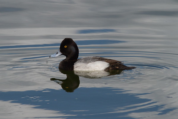 Lesser Scaup (male) Aythya affinis Lake Mirror, Lakeland, Florida 2 February 2017