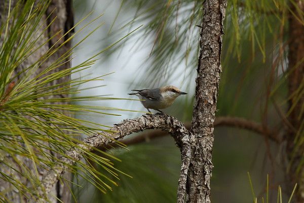Brown-headed Nuthatch Nominate subspecies Sitta pusilla pusilla Family Sittidae Avon Park Air Force Range, Highlands County, Florida 17 January 2021