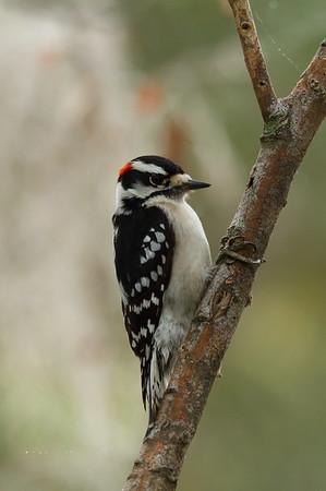 Downy Woodpecker (male) Nominate subspecies Picoides pubescens pubescens Family Picidae Circle B Bar Reserve, Lakeland, Florida 22 November 2017