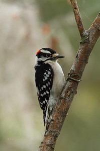 Downy Woodpecker (male) Nominate subspecies Picoides pubescens pubescens Family Picidae Circle B Bar Reserve, Lakeland, Florida 22 November 2017
