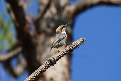 Brown-headed Nuthatch Nominate subspecies Sitta pusilla pusilla Family Sittidae Three Lakes Wildlife Management Area, Kenansville, Florida 7 December 2016
