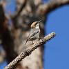 Brown-headed Nuthatch<br> Nominate subspecies<br> <i>Sitta pusilla pusilla</i><br> Family <i>Sittidae</i><br> Three Lakes Wildlife Management Area, Kenansville, Florida<br> 7 December 2016