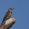 Northern Flicker (female)<br> Nominate subspecies<br> <i>Colaptes auratus auratus</i><br> Family <i>Picidae</i><br> Lake Wales Ridge Wildlife & Environmental Area, Avon Park, Florida<br> 25 October 2016