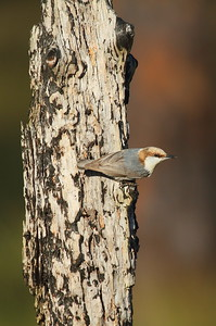Brown-headed Nuthatch Nominate subspecies Sitta pusilla pusilla Family Sittidae Lake Wales Ridge State Forest, Frostproof, Florida 25 January 2017
