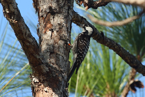 Red-cockaded Woodpecker Picoides borealis Family Picidae Hal Scott Regional Preserve, Orlando, Florida 28 March 2017