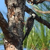 Red-cockaded Woodpecker<br> <i>Picoides borealis</i><br> Family <i>Picidae</i><br> Hal Scott Regional Preserve, Orlando, Florida<br> 28 March 2017