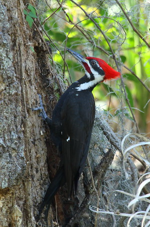 Pileated Woodpecker (male) Nominate subspecies Dryocopus pileatus pileatus Family Picidae Circle B Bar Reserve, Lakeland, Florida 6 March 2018