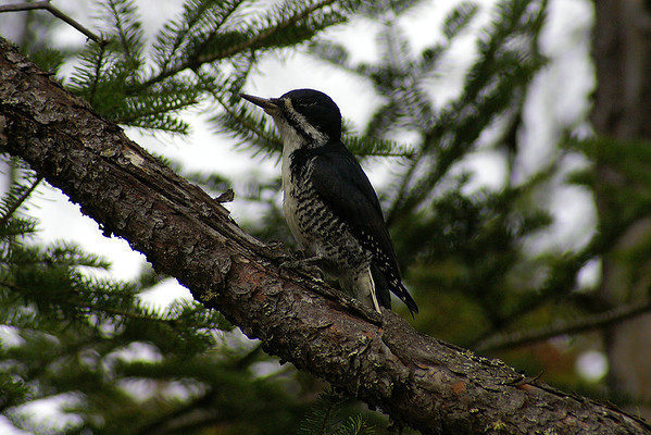 Black-backed Woodpecker (female) Picoides arcticus Family Picidae Opeongo Road, Algonquin Provincial Park, Ontario 22 October 2012