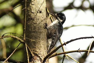 Black-backed Woodpecker (female) Picoides arcticus Family Picidae Bill Mason Centre, Dunrobin, Ontario 29 September 2012