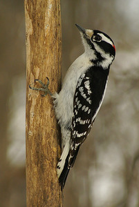 """Downy Woodpecker (male) """"Northern"""" subspecies Picoides pubescens medianus Family Picidae Nortel Campus, Ottawa, Ontario 17 February 2011"""