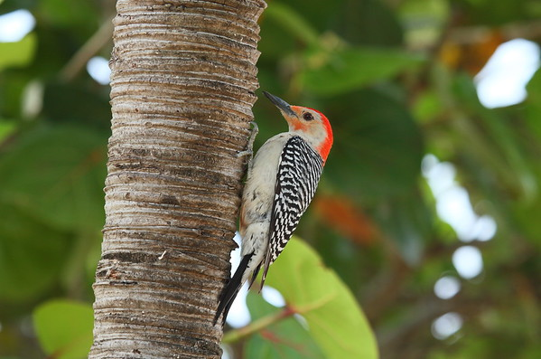 Red-bellied Woodpecker (male) Melanerpes carolinus Family Picidae National Key Deer Refuge, Big Pine Key, Florida 19 April 2017