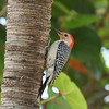 Red-bellied Woodpecker (male)<br> <i>Melanerpes carolinus</i><br> Family <i>Picidae</i><br> National Key Deer Refuge, Big Pine Key, Florida<br> 19 April 2017