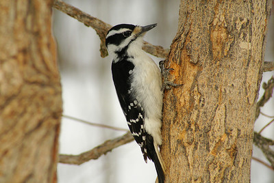 Hairy Woodpecker (female) Nominate subspecies Picoides villosus villosus Family Picidae Nortel Campus, Ottawa, Ontario 17 February 2011