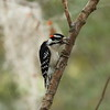 Downy Woodpecker (male)<br> Nominate subspecies<br> <i>Picoides pubescens pubescens</i><br> Family <i>Picidae</i><br> Circle B Bar Reserve, Lakeland, Florida<br> 22 November 2017