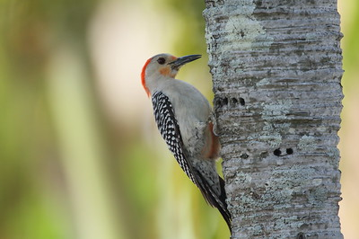 Red-bellied Woodpecker (female) Melanerpes carolinus Family Picidae National Key Deer Refuge, Big Pine Key, Florida 19 April 2017
