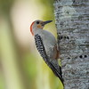Red-bellied Woodpecker (female)<br> <i>Melanerpes carolinus</i><br> Family <i>Picidae</i><br> National Key Deer Refuge, Big Pine Key, Florida<br> 19 April 2017