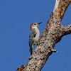 Red-bellied Woodpecker (female)<br> <i>Melanerpes carolinus</i><br> Family <i>Picidae</i><br> Lake Wales Ridge Wildlife & Environmental Area, Avon Park, Florida<br> 25 October 2016