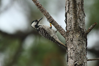 Red-cockaded Woodpecker Picoides borealis Family Picidae Avon Park Air Force Range, Avon Park, Florida 22 January 2017