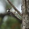 Red-cockaded Woodpecker<br> <i>Picoides borealis</i><br> Family <i>Picidae</i><br> Avon Park Air Force Range, Avon Park, Florida<br> 22 January 2017