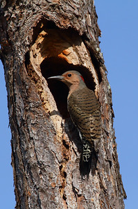 Northern Flicker (female) Nominate subspecies Colaptes auratus auratus Family Picidae Lake Wales Ridge Wildlife & Environmental Area, Avon Park, Florida 25 October 2016