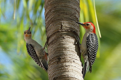 Red-bellied Woodpecker (male & female) Melanerpes carolinus Family Picidae National Key Deer Refuge, Big Pine Key, Florida 19 April 2017