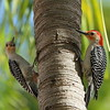 Red-bellied Woodpecker (male & female)<br> <i>Melanerpes carolinus</i><br> Family <i>Picidae</i><br> National Key Deer Refuge, Big Pine Key, Florida<br> 19 April 2017