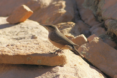 Rock Wren Nominate subspecies Salpinctes obsoletus obsoletus Rainbow Vista, Valley of Fire State Park, Overton, Nevada 5 November 2010