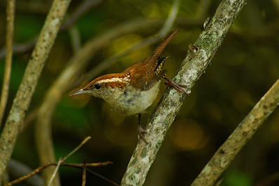 Carolina Wren Nominate subspecies Thryothorus ludovicianus ludovicianus Trustom Pond National Wildlife Refuge, South Kingstown, Rhode Island 7 July 2011