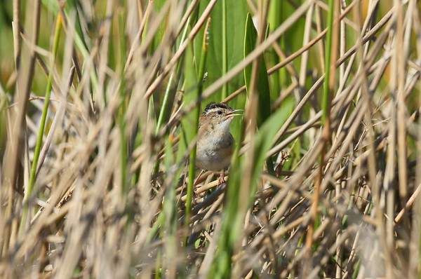 Marsh Wren dissaeptus subspecies Cistothorus palustris dissaeptus William J. Gentry, Jr. Memorial Eco Park, Sebring, Florida 24 March 2021