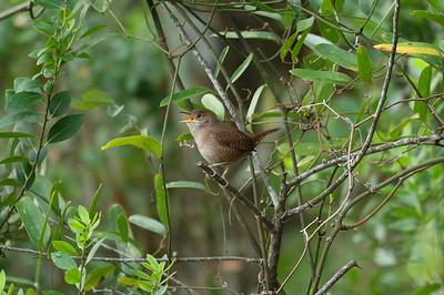 House Wren Nominate subspecies Troglodytes aedon aedon Lake Wales Ridge State Forest, Lake Wales, Florida 25 October 2016