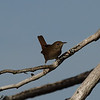 House Wren<br> Nominate subspecies<br> <i>Troglodytes aedon aedon</i><br> Lake Wales Ridge Wildlife & Environmental Area, Avon Park, Florida<br> 25 October 2016