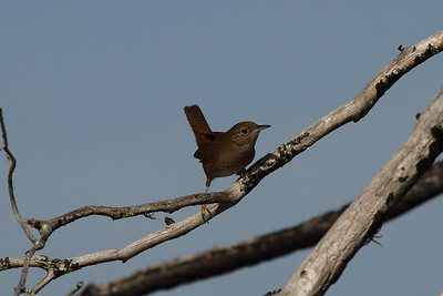 House Wren Nominate subspecies Troglodytes aedon aedon Lake Wales Ridge Wildlife & Environmental Area, Avon Park, Florida 25 October 2016