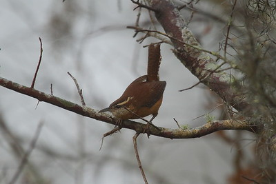 "Carolina Wren ""Florida"" subspecies Thryothorus ludovicianus miamensis Circle B Bar Reserve, Lakeland, Florida 22 January 2018"