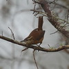 "Carolina Wren<br> ""Florida"" subspecies<br> <i>Thryothorus ludovicianus miamensis</i><br> Circle B Bar Reserve, Lakeland, Florida<br> 22 January 2018"