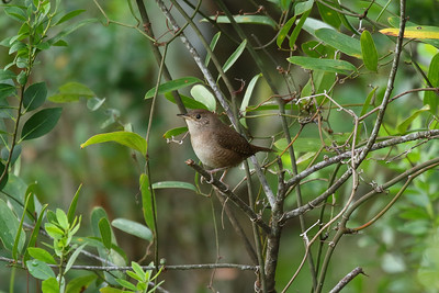 House Wren Nominate subspecies Troglodytes aedon aedon Lake Wales Ridge State Forest, Lake Wales, Florida 25 October 2016