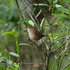 House Wren<br> Nominate subspecies<br> <i>Troglodytes aedon aedon</i><br> Lake Wales Ridge State Forest, Lake Wales, Florida<br> 25 October 2016