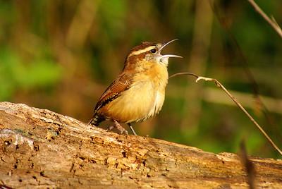 Carolina Wren Nominate subspecies Thryothorus ludovicianus ludovicianus Britannia Conservation Area, Ottawa, Ontario 7 November 2012