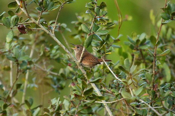 House Wren Nominate subspecies Troglodytes aedon aedon Highlands Hammock State Park, Sebring, Florida 5 November 2018