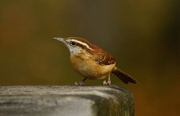 Carolina Wren Nominate subspecies Thryothorus ludovicianus ludovicianus Archbald, Pennsylvania 25 October 2009