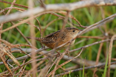 Sedge Wren Cistothorus stellaris Celery Fields, Sarasota, Florida 01 January 2018