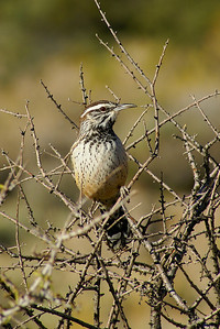 "Cactus Wren ""Coues's"" subspecies Campylorhynchus brunneicapillus couesi Willow Springs, Red Rock Canyon National Conservation Area, Nevada 4 November 2010"