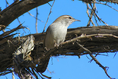 Bewick's Wren eremophilus subspecies Thryomanes bewickii eremophilus Lost Creek, Red Rock Canyon National Conservation Area, Nevada 7 November 2010