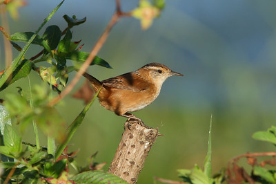"Marsh Wren ""Marian's"" subspecies Cistothorus palustris marianae Lake Apopka, Astatula, Florida 11 November 2016"
