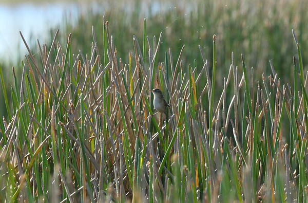 Marsh Wren dissaeptus subspecies Cistothorus palustris dissaeptus William J. Gentry, Jr. Memorial Eco Park, Sebring, Florida 06 January 2021