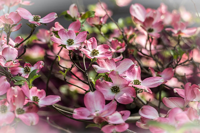 170413_07_6321_Blossoms-3