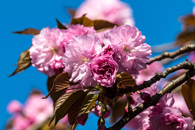 170408_09_6321_Blossoms-1