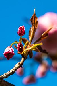170408_62_6321_Blossoms-1