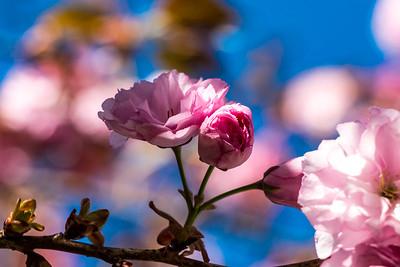 170408_46_6321_Blossoms-1